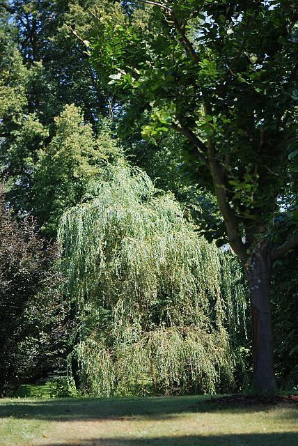 Salix alba ´Tristis´ - vrba bílá - letní habitus (85)