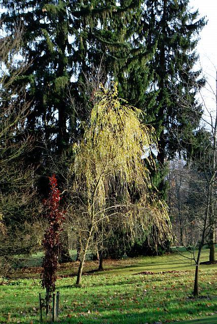 Salix alba ´Tristis´ - vrba bílá - podzimní habitus (85)