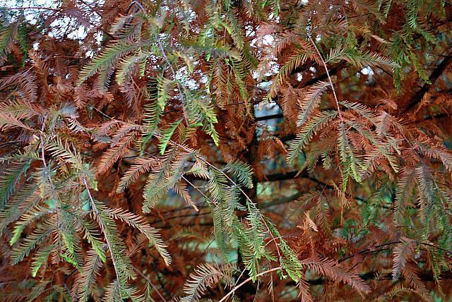 Taxodium distichum - tisovec dvouřadý - podzimní zbarvení listu (96)