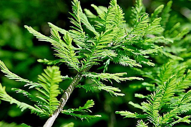 Taxodium distichum ´Cascade Falls´ - tisovec dvouřadý - jarní větévka s listy (jehlicemi)