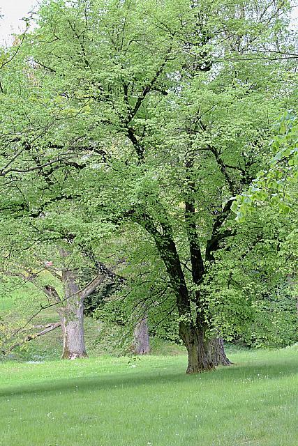 Tilia cordata - lípa srdčitá - jarní habitus (49)