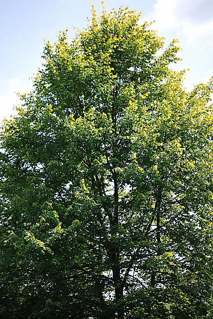 Tilia platyphyllos ´Aurea´ - lípa velkolistá - letní koruna (45)