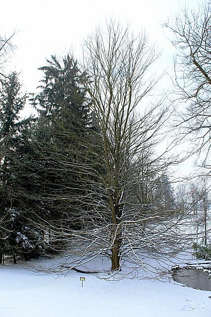 Ulmus laevis - jilm vaz - zimní habitus (70)